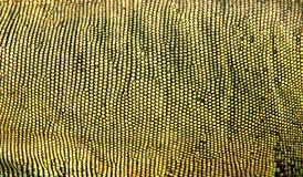 Peau d'iguane Photo libre de droits