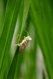 Peau d'insecte sur la feuille verte Photographie stock libre de droits