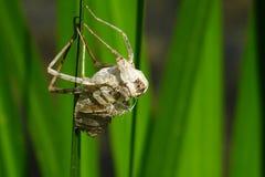 Peau d'insecte sur la feuille verte Image libre de droits