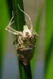 Peau d'insecte sur la feuille verte Images libres de droits