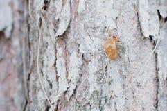 Peau d'insecte sur le fond d'arbre et en bois Photos libres de droits