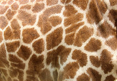 Peau de cuir véritable de giraffe Photographie stock libre de droits