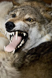 Peau de loup sur l'étage Image stock