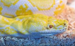 Peau de plan rapproché de python d'or Photographie stock libre de droits