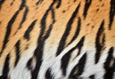 Peau de tigre Photographie stock libre de droits