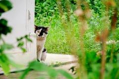 Peau et mouchard noirs et blancs de chat derrière le coin de mur photographie stock
