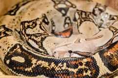 Peau et tête de serpent de boa avec l'oeil au beurre noir image libre de droits