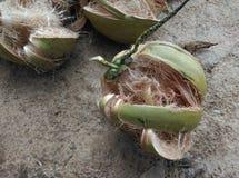 Peau fraîche de noix de coco Photo libre de droits