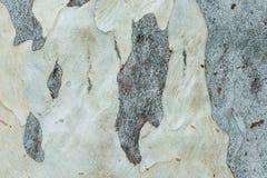 Peau grise verte d'EucalyptusTree photos libres de droits