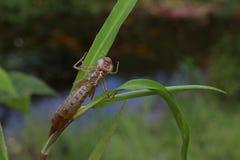 Peau muée de mouche de dragon Photographie stock libre de droits