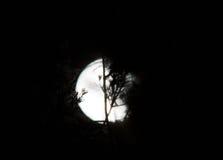 Peaux de pleine lune derrière les arbres image libre de droits