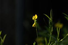Peavine do prado Flor selvagem Imagem de Stock