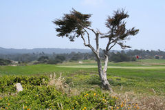 Pebble Beach Golf. View of greens at Pebble Beach golf course along 17-Mile Drive on Northern California coast between Monterey and Carmel. Tree and flowers in Stock Photography