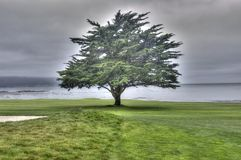 Pebble Beach träd Arkivfoto