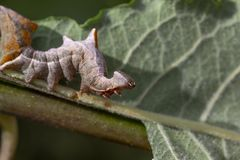 Pebble prominent moth caterpillar, Notodonta ziczac, walking, eating along a willow leaf during july royalty free stock image
