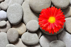 Pebbles background against gerbera flower Royalty Free Stock Images