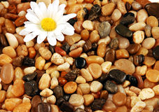 Pebbles and flower. Colorful mix of round shiny pebbles and stones and daisy flower Stock Image
