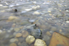 Pebbles in the mountain river Royalty Free Stock Images