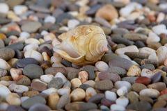 Pebbles on Ocean Shore and conch Stock Photos