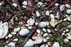 Pebbles and seaweed from alabaster coast of Normandy Royalty Free Stock Photos