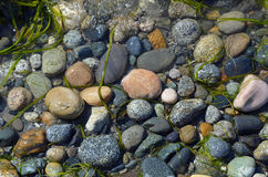 Pebbles and seawood Stock Images