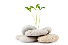 Pebbles and seedlings - alternative medicine. Concept Stock Photos
