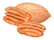 Pecan. stock illustration