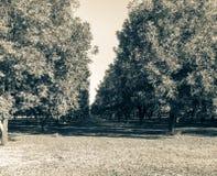 Pecan farm in Georgia. A grove of pecan trees in Georgia Royalty Free Stock Photos