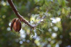 Pecan - illinoinensis del Carya Fotografia Stock