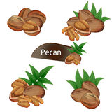 Pecan kernel in nutshell with leaves set. Pecan kernel in nutshell with green leaves set isolated on white background vector illustration. Organic food Stock Photos