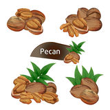 Pecan kernel in nutshell with leaves set. Pecan kernel in nutshell with green leaves set isolated on white background vector illustration. Organic food Royalty Free Stock Images