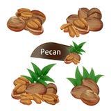 Pecan nasiono w nutshell z liśćmi ustawiającymi ilustracja wektor