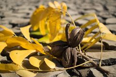 Pecan nuts on an autumn branch on cracked dam mud stock photography