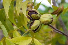 Pecan nuts grown in the organic garden royalty free stock image