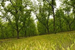 Pecan Orchard Stock Photo