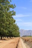 USA, Arizona: Pecan Orchard in a Desert Stock Image