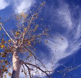 Pecan Swirl. Pecan tree against a sky full of swirling clouds Stock Images