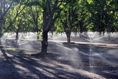 Pecan Tree Irrigation Stock Photo