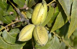 Pecan tree nuts Royalty Free Stock Images