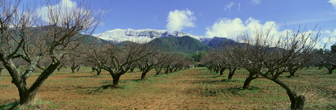 Pecan Trees, Ojai, California Royalty Free Stock Image