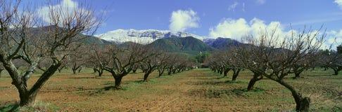 Pecan Trees, Ojai, California Royalty Free Stock Image