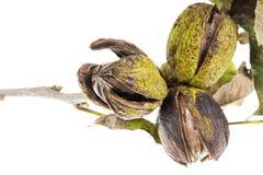 Pecannötter på en treefilial med leaves fotografering för bildbyråer