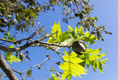 Pecannötter på en treefilial med leaves Royaltyfri Fotografi