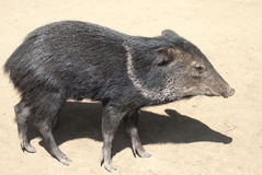 Peccary. Collared Peccary (Tayassu Tajacu) standing Royalty Free Stock Photography
