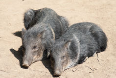 Peccary. Two Collared Peccary lying together Royalty Free Stock Image