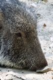 Peccary Royalty Free Stock Photos