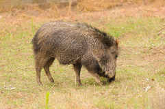 Peccary. Central and north American Peccary or javelina Royalty Free Stock Photography
