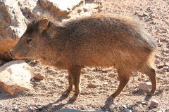 Peccary. Posing for a picture Stock Photos