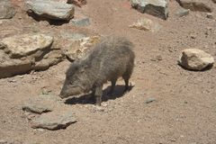 Peccary Stockfotos
