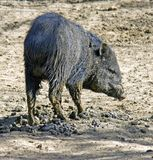 Peccary Stock Photography